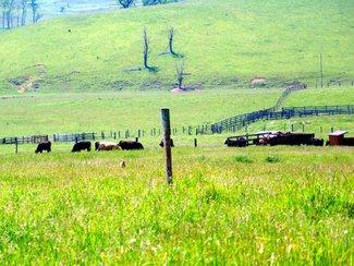 Cattle drinking. Good limestone water, add .25lb. per day gain