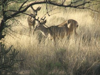 Some of the mule deer in the area.