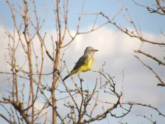 A Kingbird in the area.