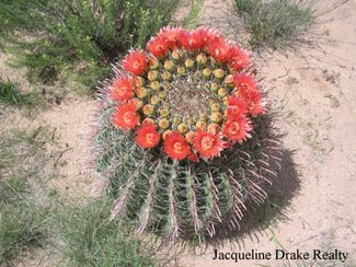 One of the Barrel cactus in bloom.