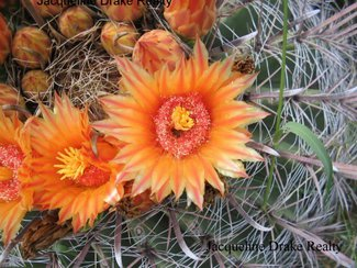 A close up of the barrel cactus blooms.