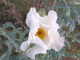 One of the Prickly Poppies in bloom.