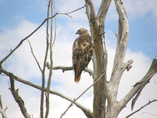 A hawk, another area resident. Southern AZ is a birders paradise with so many unusual species.