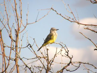 A King Bird seen in the area.