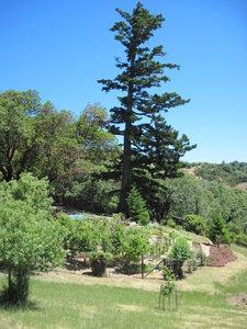 Garden and Huge fir tree.