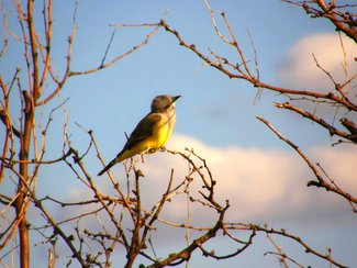 A kingbird seen in the area. Cochise county is a birders paradise.