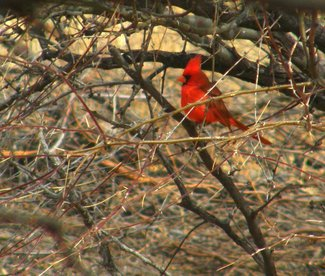A cardinal seen in the ranch.