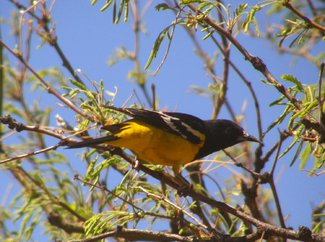 A scotts oriole seen in the ranch.
