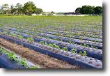 Florida Farm Land 8 Acres Johnson Road Strawberry Farm
