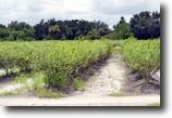 Florida Farm Land 32 Acres Alturas Blueberry Farm