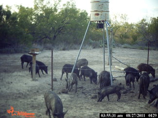 Hunt hogs all year.