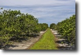 Florida Land 80 Acres West Frostproof Grove