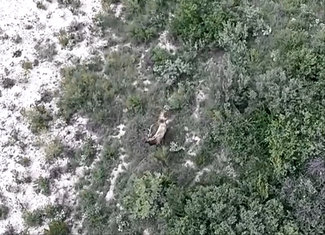 Aerial of young Bull elk